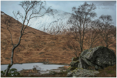 birch trees in winter, Loch Dochard