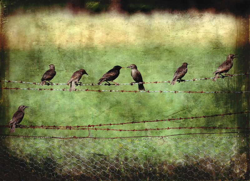 Barbwire Starlings