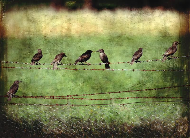 Barbwire Starlings