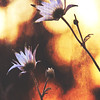 Flannel Flowers Watching the Sunset