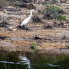 White egret along the shoreline