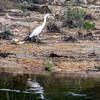White egret along the shoreline