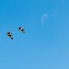 Brown pelicans fly overhead