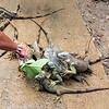 Boni feeding a few iguana