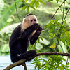 Capuchin monkey enjoying a lollipop it found