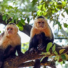Gracile capuchin monkeys roam free atop the trees