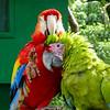 Macaws at play