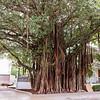 Massive banyan tree