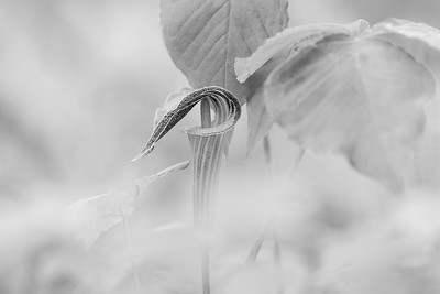 Jack in the Pulpit, black and white version