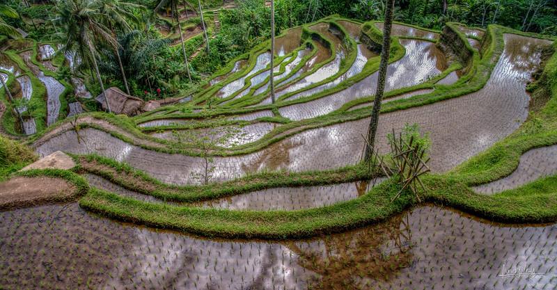 Rice Paddy Reflections