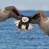 Bald Eagle-6297
