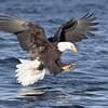 Bald Eagle-8486