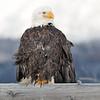 Bald Eagle-3440