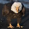 Bald Eagle-1889