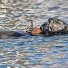 Sea Otter--6