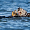 Sea Otter--9
