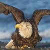 Bald Eagle-8679