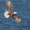 Bald Eagle-3927