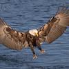 Bald Eagle-3346