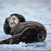 Sea Otter--10