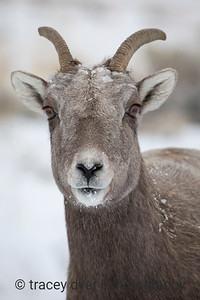 Portrait of a Ewe