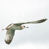 Sea Gulls In Flight 005 | Wall Art Resource