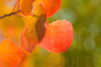 Colorado Fall Foliage 016 | Wall Art Resource