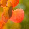 Colorado Fall Foliage 016   Wall Art Resource