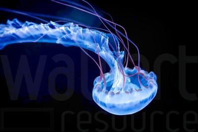 Glowing Jellyfish 027 | Wall Art Resource