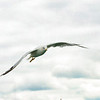 Sea Gulls In Flight 001 | Wall Art Resource
