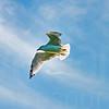 Sea Gulls In Flight 007 | Wall Art Resource