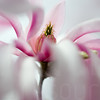 Magnolias In Bloom 001 | Wall Art Resource