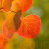 Colorado Fall Foliage 015   Wall Art Resource