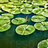 Lily Pads On A Pond | Wall Art Resource