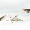 Sea Gulls In Flight 006 | Wall Art Resource
