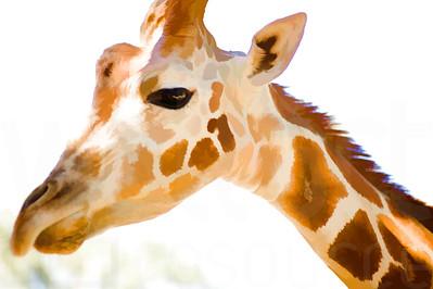 Giraffe Close Up | Wall Art Resource