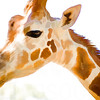 Giraffe Close Up | Wall Art Resource