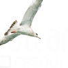 Sea Gulls In Flight 003 | Wall Art Resource