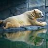 Lounging Polar Bear 001 | Wall Art Resource