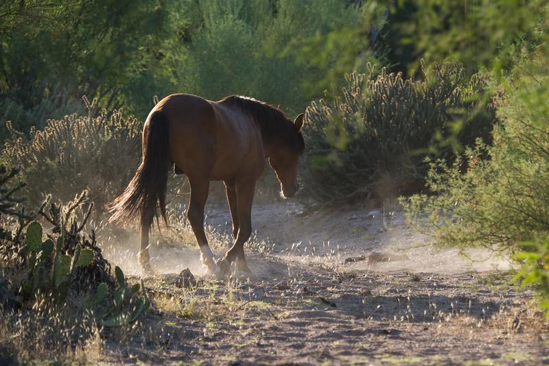 Salt River Wild Horses, Salt River, just outside of Phoenix, AZ
