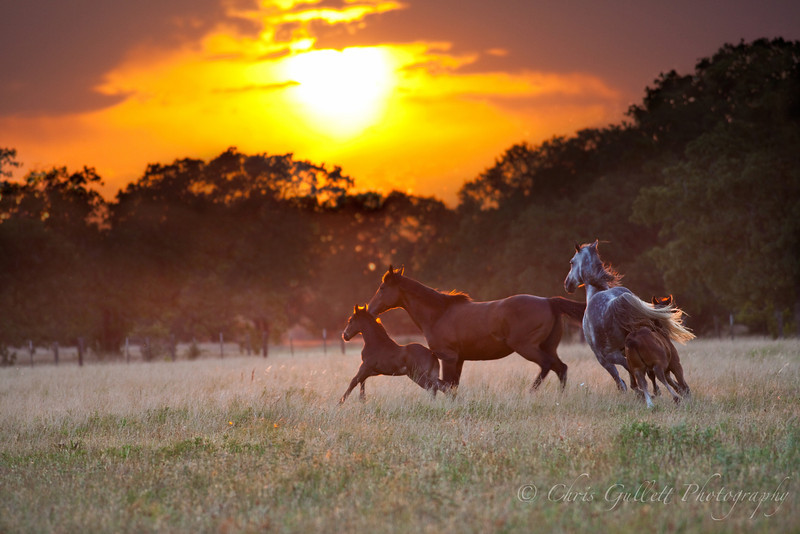 Texas Horse Family Frolics At Sunset