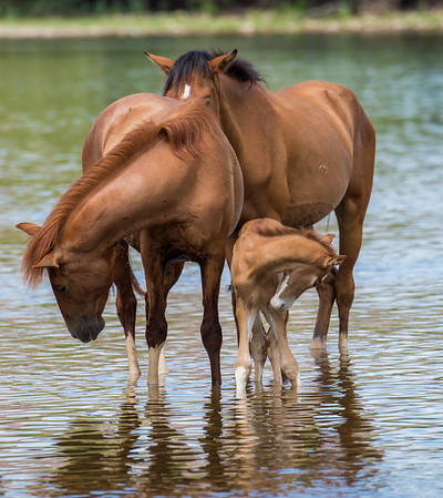 Salt River Wild Horses, Salt River, just outside of Phoenix, AZ