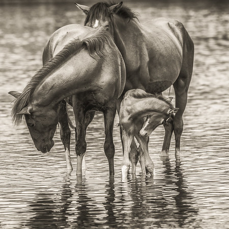 'A Mother's Love', Salt River Wild Horses, Salt River, just outside of Phoenix, AZ