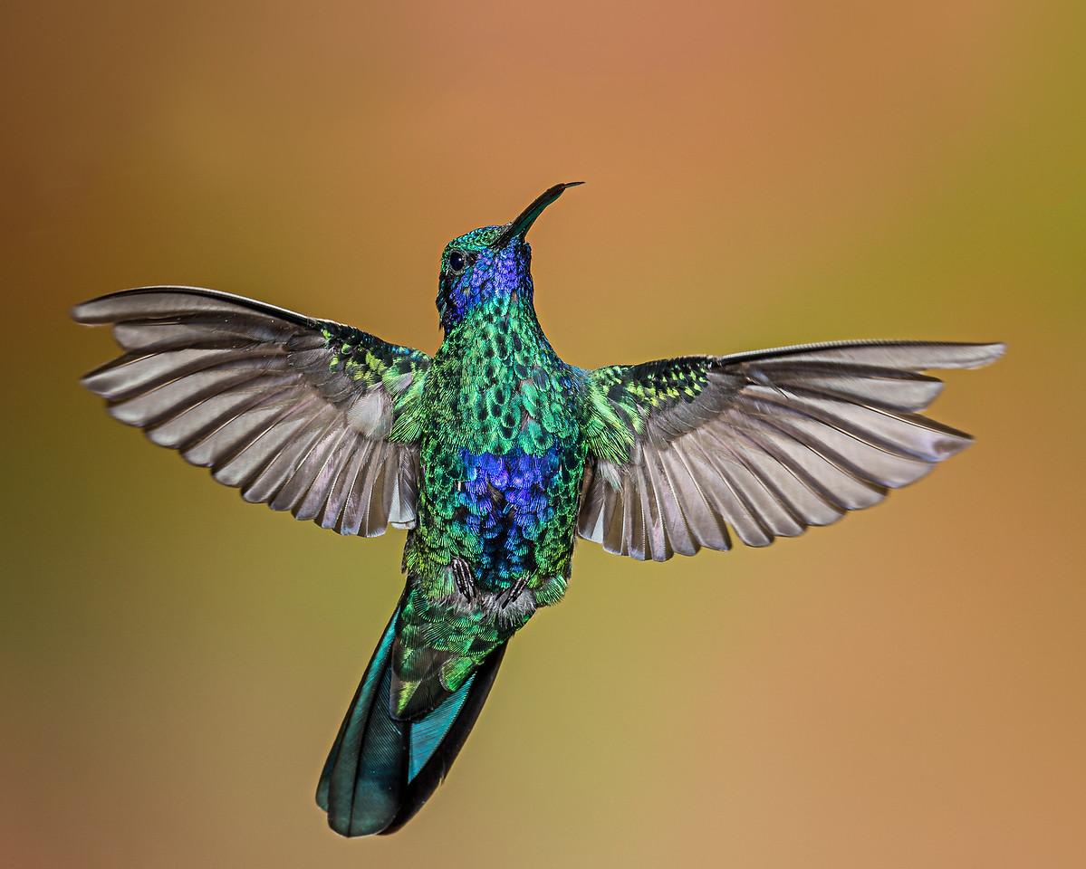 Sparkling Violetear