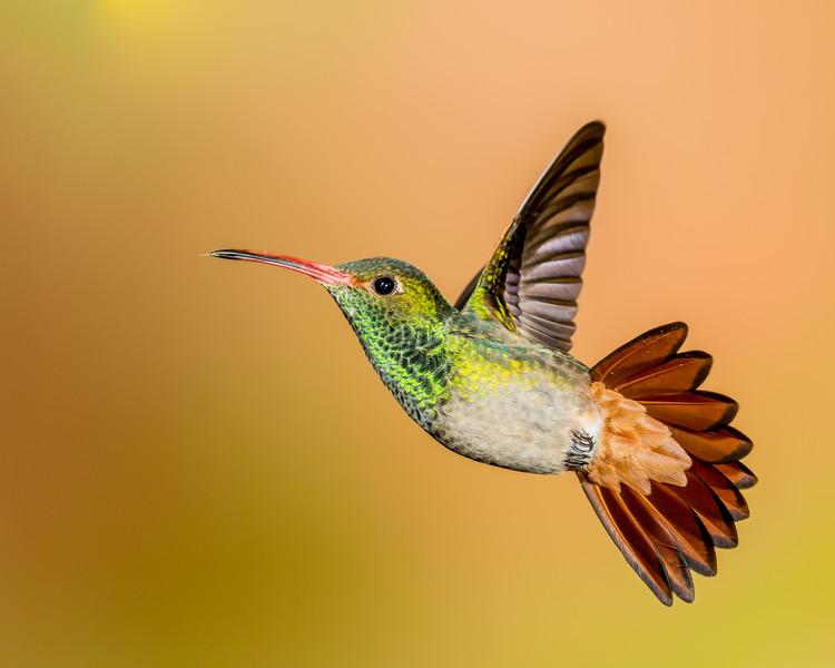 Rufus-tailed Hummingbird