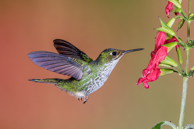 Booted Racket-tail (female)