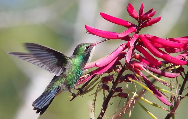 Broad-billed Hummingbird feeding on coral bean flower (rare FL visitor)