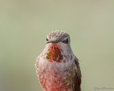 Anna's Hummingbird (female)