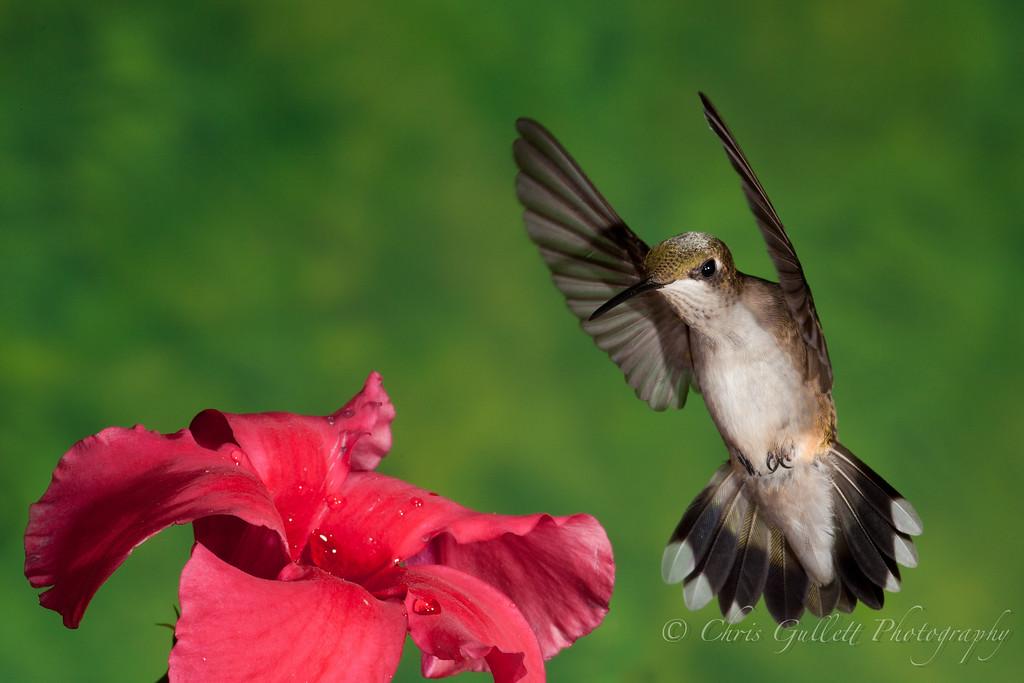 Hummingbird Over Mandevilla 2