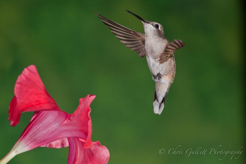 Hummingbird Over Mandevilla